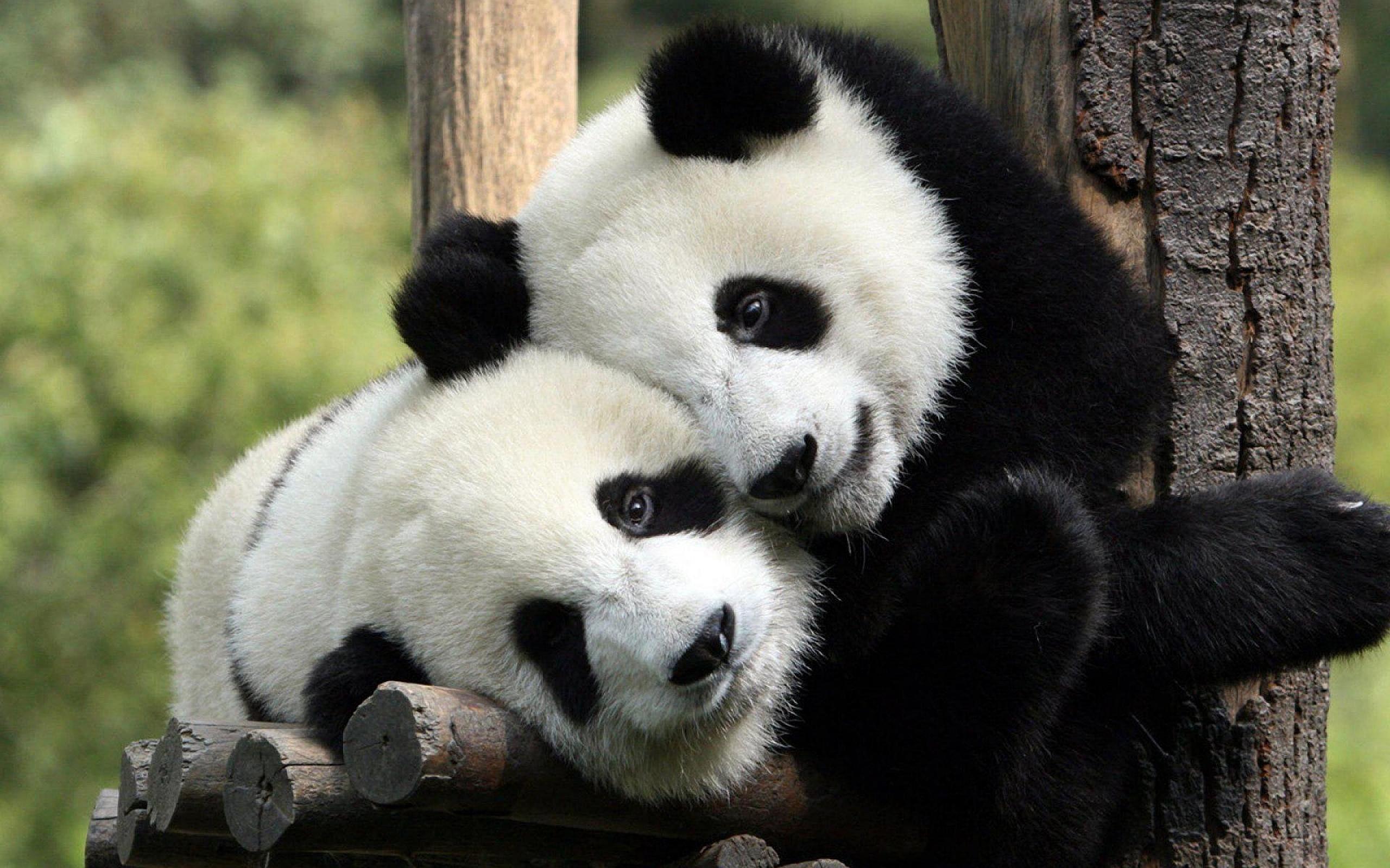 Panda dili çözüldü