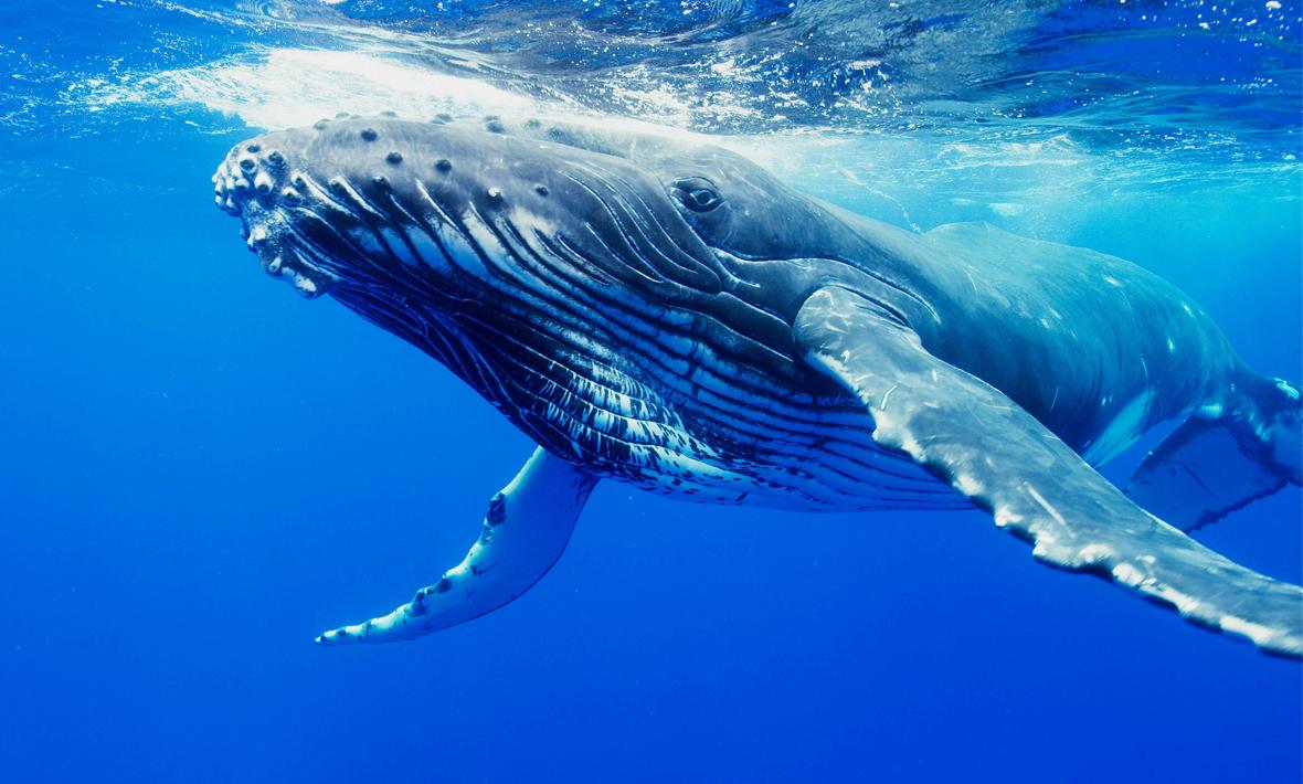 Kambur balinalar kayboldular