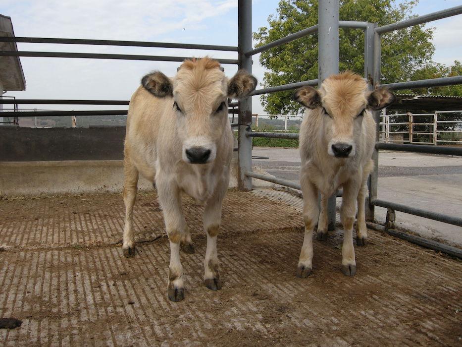 'Klonlama fabrikası'yla seri hayvan üretimi