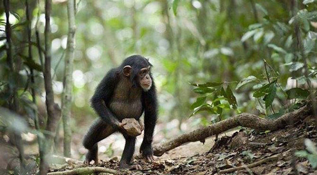VİDEO | Şempanzelerin dini var mı?