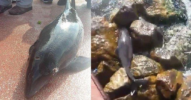 Denize kedi atılan Karamürsel sahilinde şimdi de vurulmuş yavru yunus bulundu
