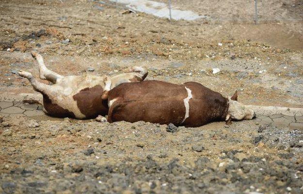 Susuzluktan ölen 'kurbanlık' hayvanları yol kenarına attılar