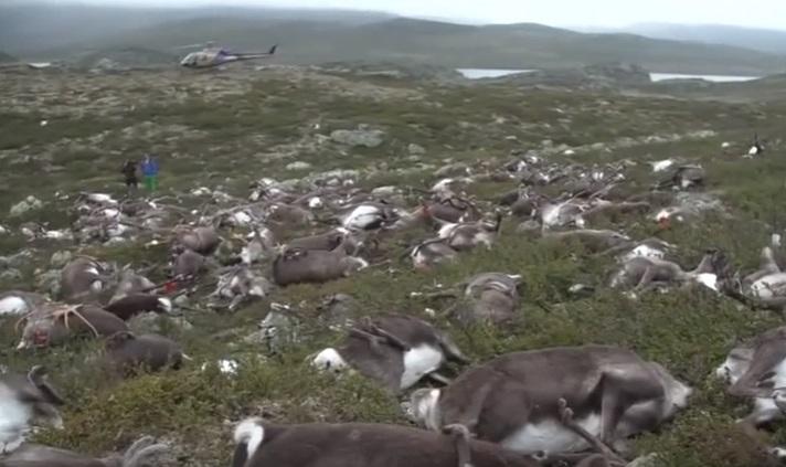 VİDEO | Norveç'te yıldırım düşmesi sonucu yüzlerce ren geyiği öldü