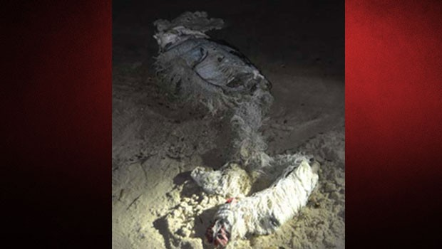 Kuşadası'nda tüyler ürperten olay: Çürümüş çocuk cesedi sahile vurdu