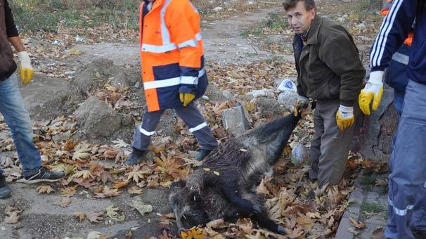 10 Kasım anması öncesi tören alanına domuz leşi bırakıldı!