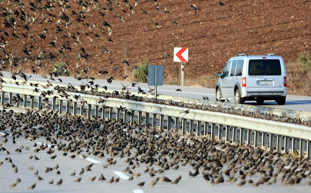 Sıcaklık eksinin altına düşünce kuş sürüleri karayoluna indi