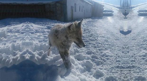VİDEO | Anadolu'da çetin kış şartları: Bir tilki ayakta dondu