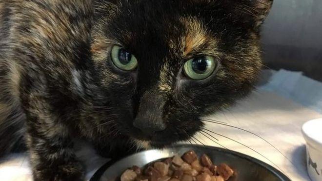 Aylar önce kaybolan kedi başka bir ülkede çıktı: Tam 950 km yol tepmiş...