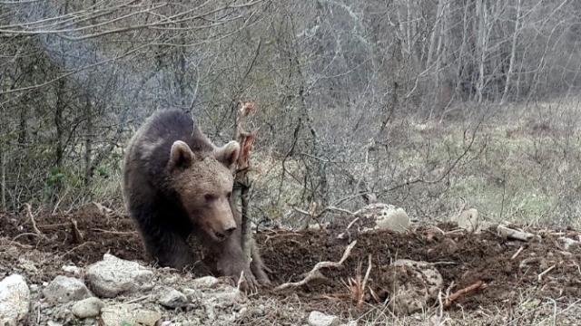Kastamonu'da aç kalan ayılar arı kovanlarını parçaladı