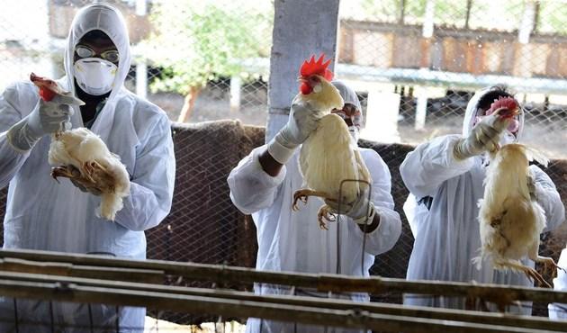 Anadolu'da 'kuş gribi' alarmı: İki ilde yüzlerce tavuk öldürüldü