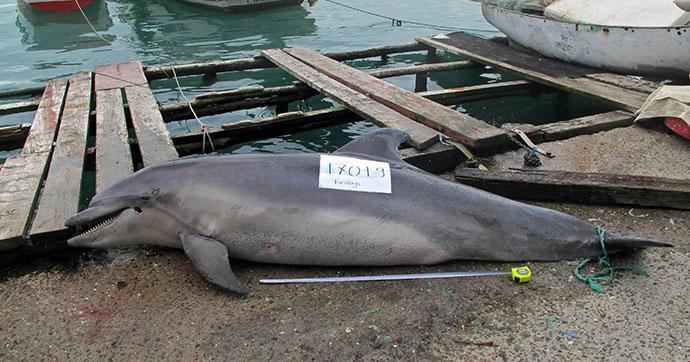 İstanbul Boğazı'ndan geçen 'Afalina' türü yunus av tüfeği ile katledildi
