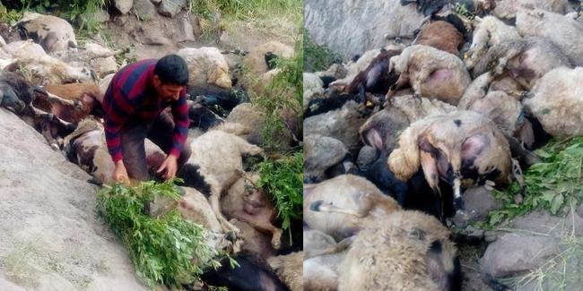 Biri atlayınca diğerleri de ona bakıp atladı: Kayalıktan atlayan 80 koyun öldü