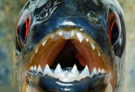 Kızılırmak'taki pirana krizi ile ilgili yeni uyarı: Nehre çıplak girmeyin