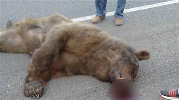Yasak dinlemediler: Vurulan ayı yol kenarında can verdi