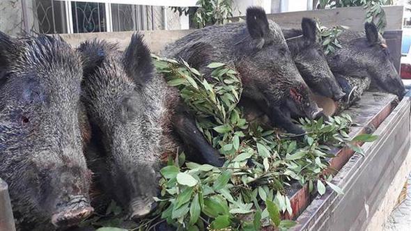 İlçenin düşman işgalinden kurtuluşunu domuz avlayarak kutladılar!