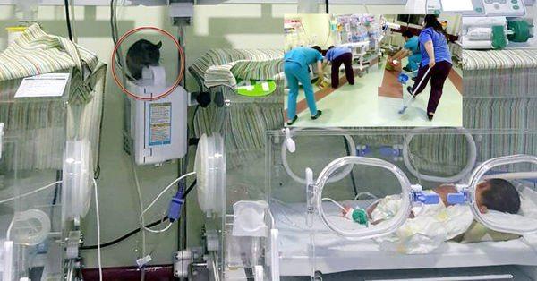 VİDEO | Hastanede skandal görüntüler: Yeni doğan servisinde fare kovaladılar!