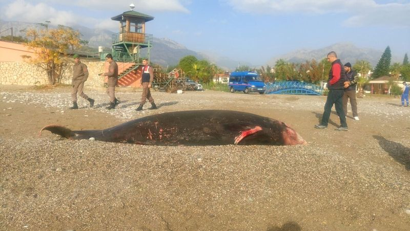 Antalya'da kıyıya ölü balina vurdu