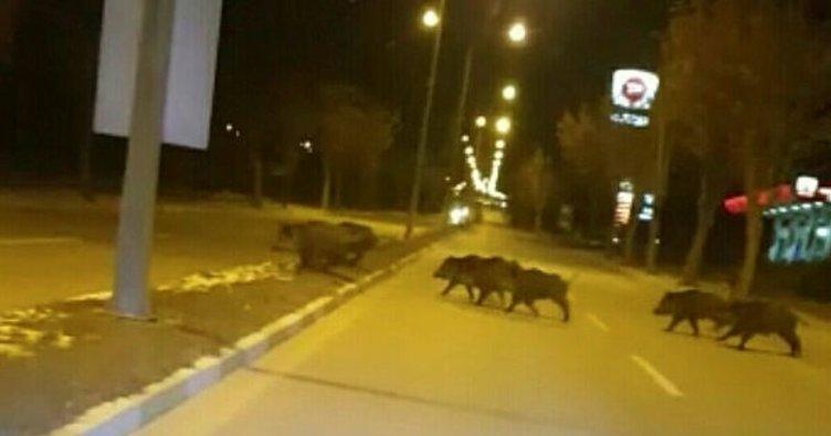 Çorum'da domuzlar şehre indi