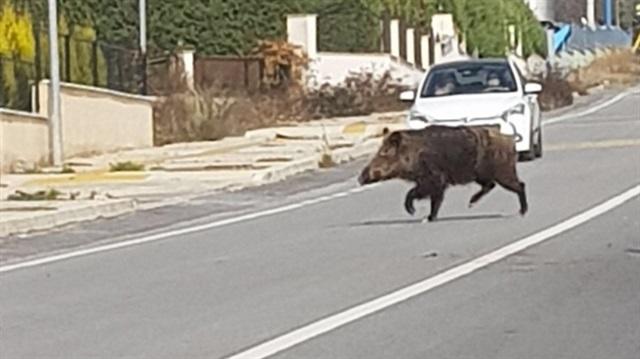 İzmir'de aç kalan domuzlar şehre indi