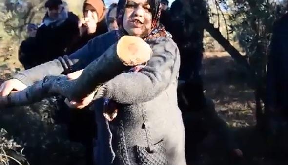 VİDEO | Zeytin ağaçları termik santral için söküldü: Köylüler böyle isyan etti...
