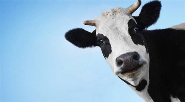 Özgürlüğe kaçan inek yüzerek kurtuldu