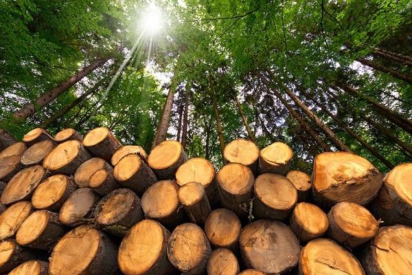 Foça Ilıpınar'daki ağaç kesimlerine yöre halkından büyük tepki