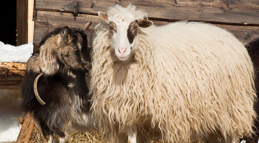 62 yaşındaki adam koyun ve keçilere tecavüzden tutuklandı