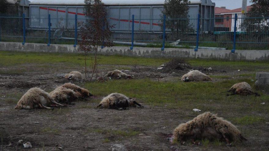 Arazide otlarken ard arda yere yığılan koyunlar kesildi