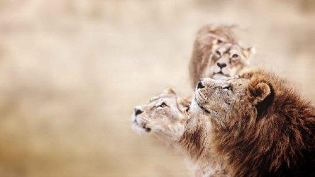 Büyü için aslanları katlettiler