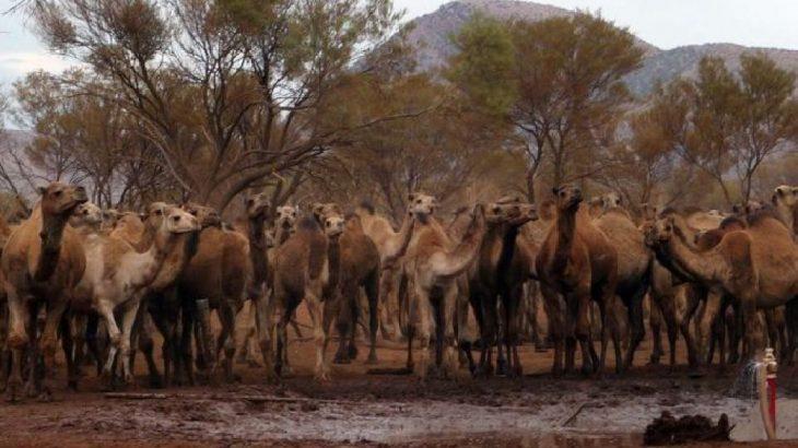 Avustralya'da 10 bin yabani deve öldürülecek