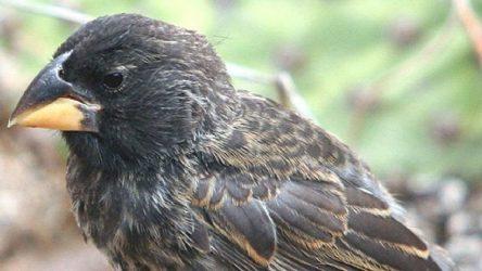 MEB 11. sınıf biyoloji kitabında skandal: Galapagos'taki ispinozlar evrimleşmemiş,'karakter kayması' yaşamış