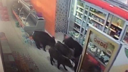 İnegöl'de aç kalan domuzlar mahalleye inip markete girdi