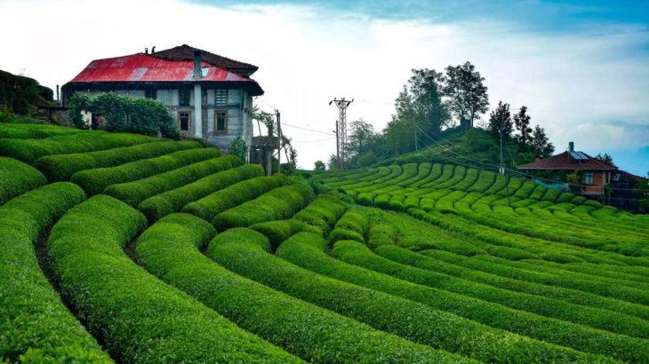Rize Valisi: 50 bin çay üreticisinin memlekete geliş izni iptal edildi