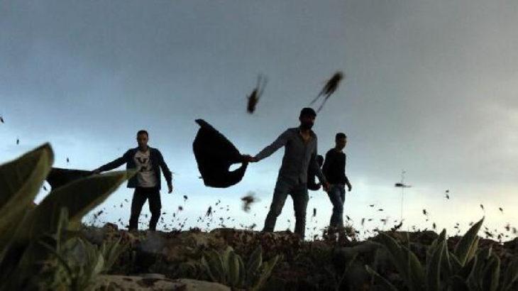 Urfa'da çekirge istilası