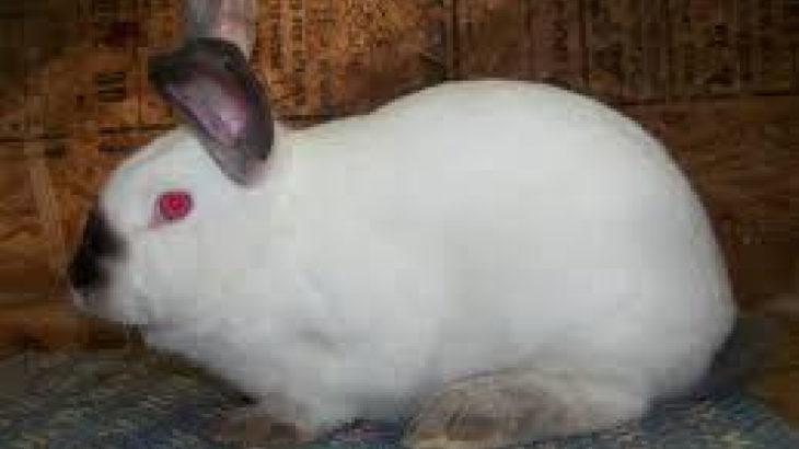 ABD'de yeni ölümcül salgın uyarısı: Tavşanlar arasında hızla yayılıyor