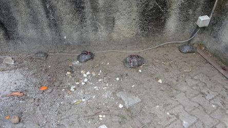 Antalya Alanya'da çok sayıda kaplumbağa taşla ezilerek öldürüldü