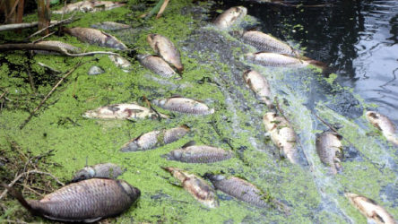 Bolu Göynük'te bulunan Çatak Baraj Göleti'nde toplu balık ölümleri!