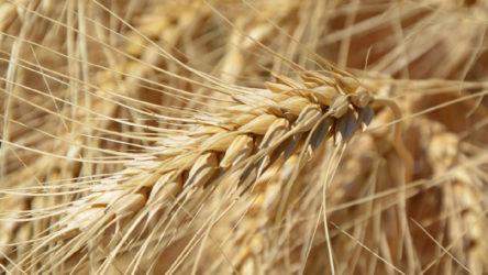 Ziraat Mühendisleri Odası: Buğdayda alım fiyatı maliyeti karşılamıyor