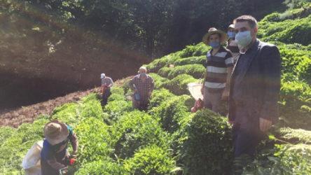 Rize'de çay üreticilerinin testleri tamamlandı: 202 kişi karantinaya alındı