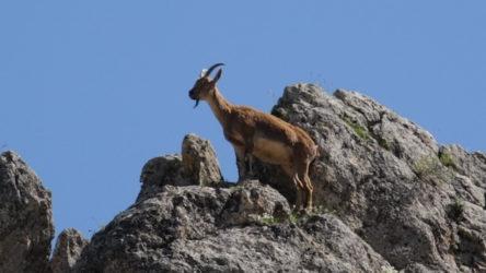 Dağ keçilerinin avlanmasına ilişkin ihale iptal edildi