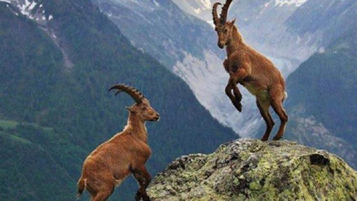 Bakanlık dağ keçilerini avlatmak için ihale açtı