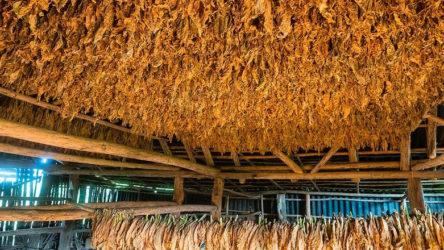 Sarma tütüne yasak çiftçiyi vuracak