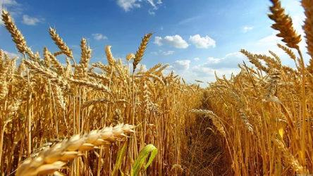 Buğdayın anavatanı olan Türkiye buğday ithalatında dünya birincisi oldu!