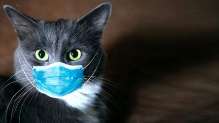 Yeni araştırma: Kediler koronavirüse yakalanıyor