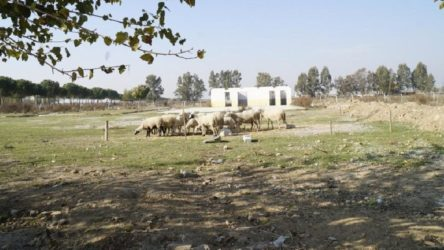 Seçimden önce rehabilitasyon merkezi inşa edilecekti, seçim kaybedilince koyun otlatma yeri oldu