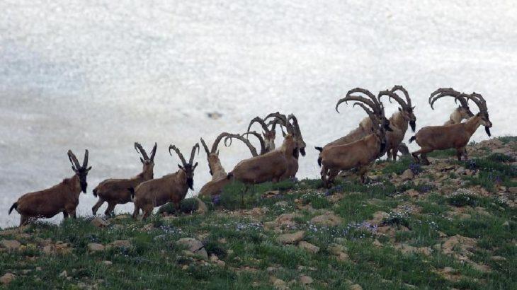 ABD'li patronun dağ keçisi vurma izni iptal edildi