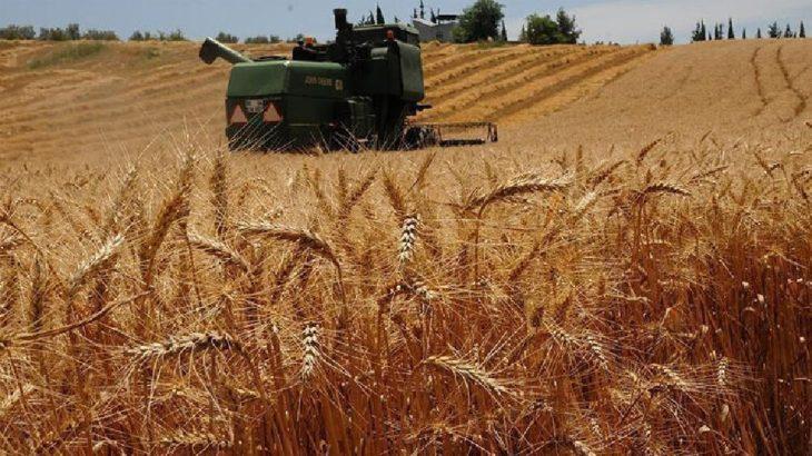 İklim krizi buğdayı vurdu: Küresel çapta rekolte kaybı artarken üretim azaldı