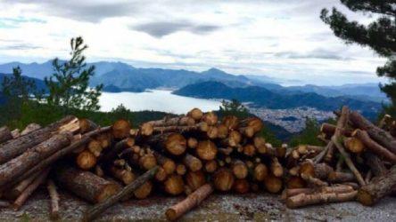 Bine yakın ağaç kesildi, Orman Müdürlüğü 'yangınlara karşı yol genişletme ve temizlik' dedi