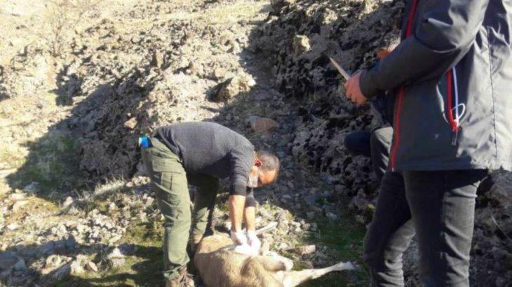 Nesli tükenmekte olan 8 yaban keçisi ölü bulundu