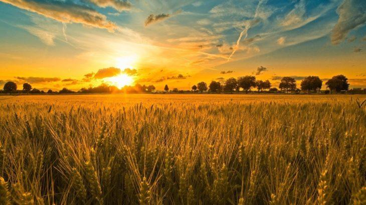 Trakya'daki buğday tarlalarında ağır metal tespit edildi